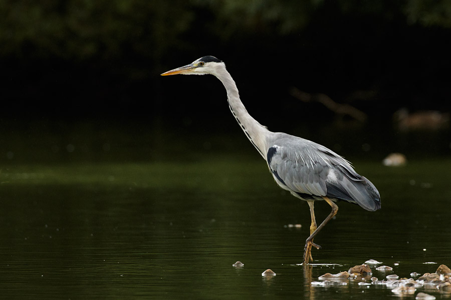 Grey heron at Falmer Pond