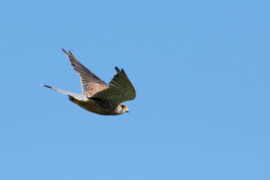 Kestrel in flight under blue sky