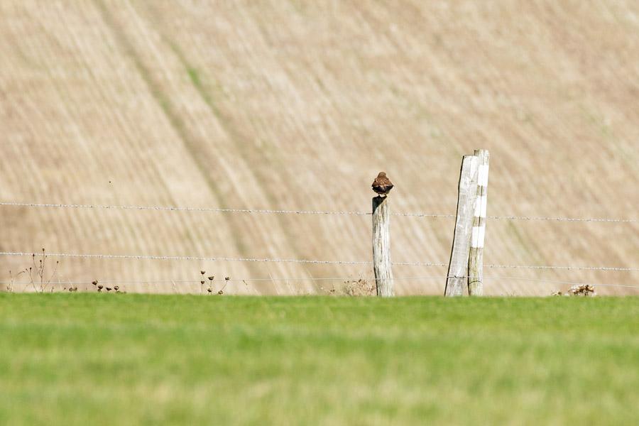 Female kestrel at Sheepcote Valley