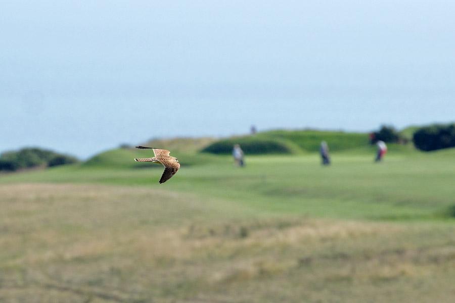 Kestrel cruising over the golf course at Sheepcote Valley