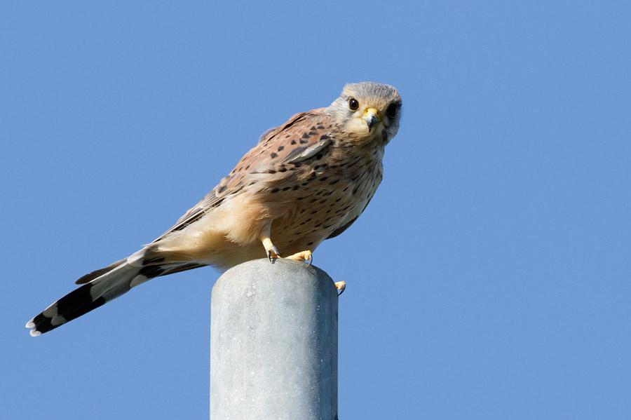 Kestrel perched on street lamp