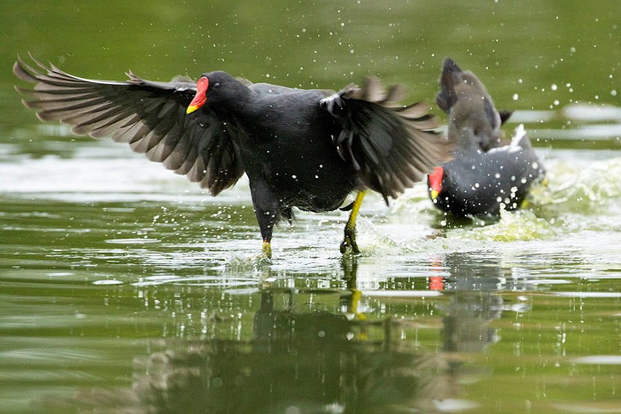 Moorhen racing across Falmer Pond