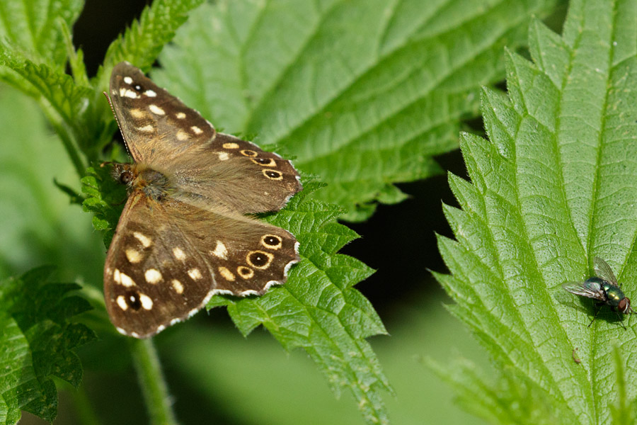 Speckled wood butterfly and greenbottle.