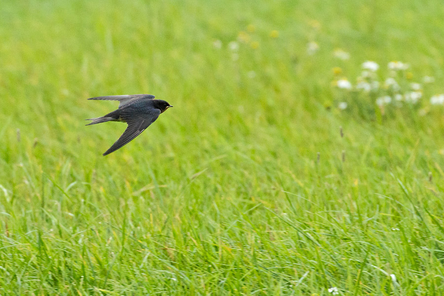 Swallow in flight over fields at Falmer