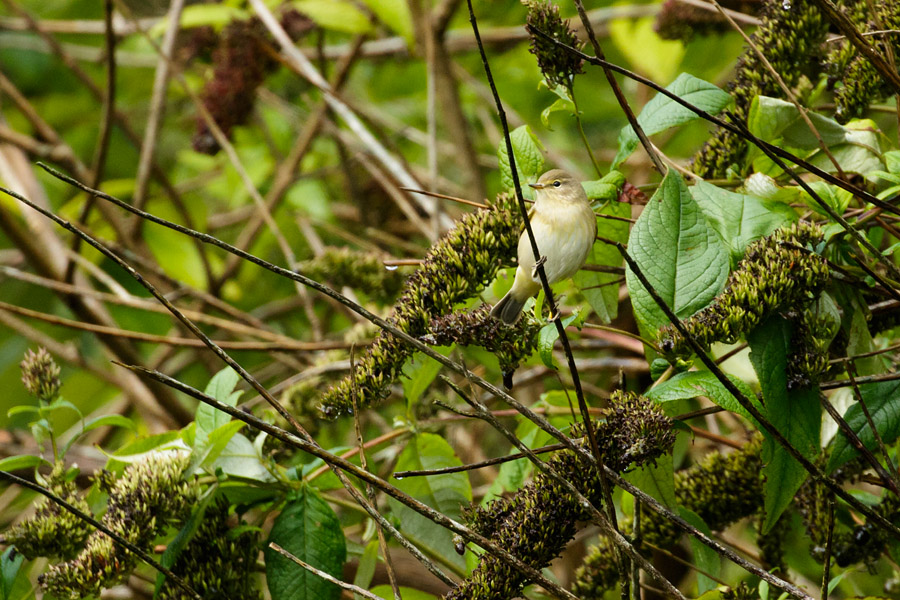 Chiffchaff in wooded area in Moulsecoomb, Brighton