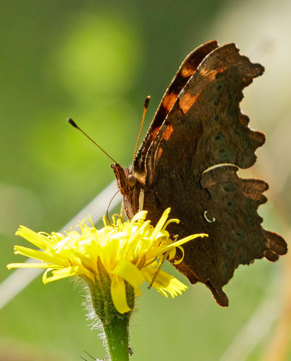 Comma butterfly at Moulsecoomb, Brighton