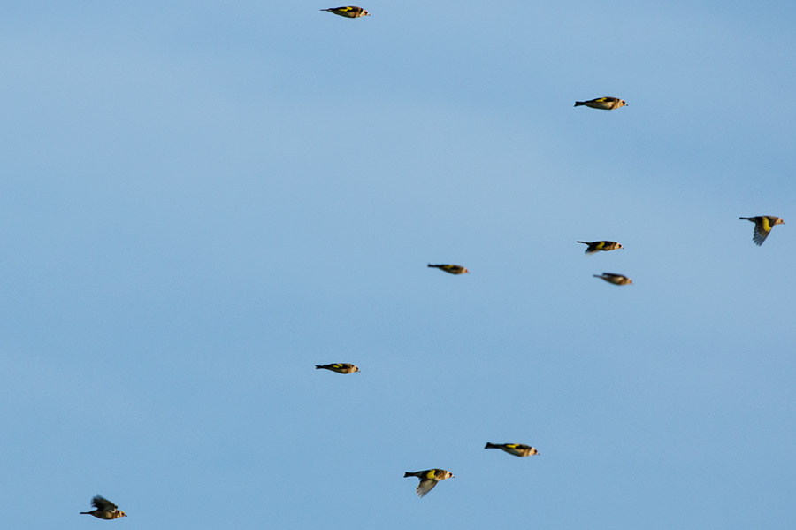 Flock of goldfinches at Sheepcote Valley