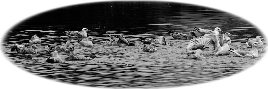 Gulls on Falmer Pond, black and white with vignette