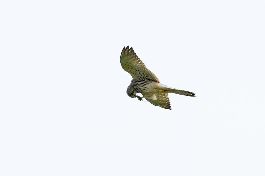 Kestrel eating a bush cricket on the wing at Castle Hill, East Sussex