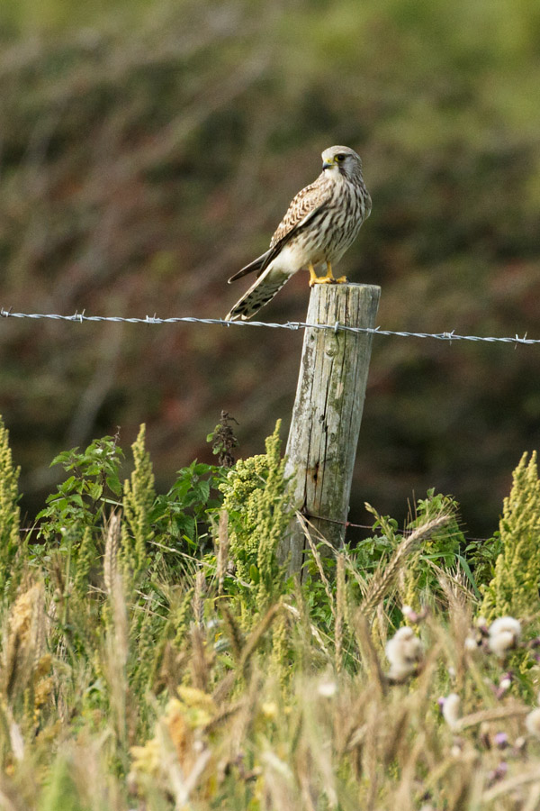 Kestrel fence-posting at Castle Hill, East Sussex