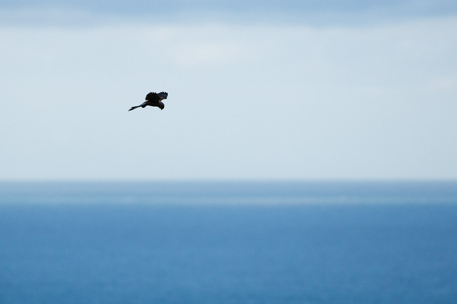 Male kestrel with sea in the background