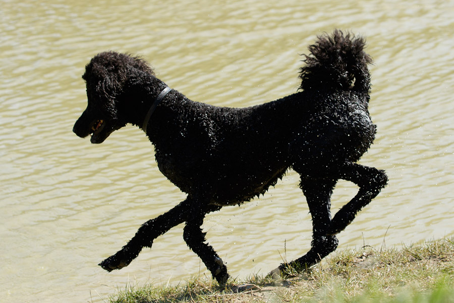 Black poodle in dew pond