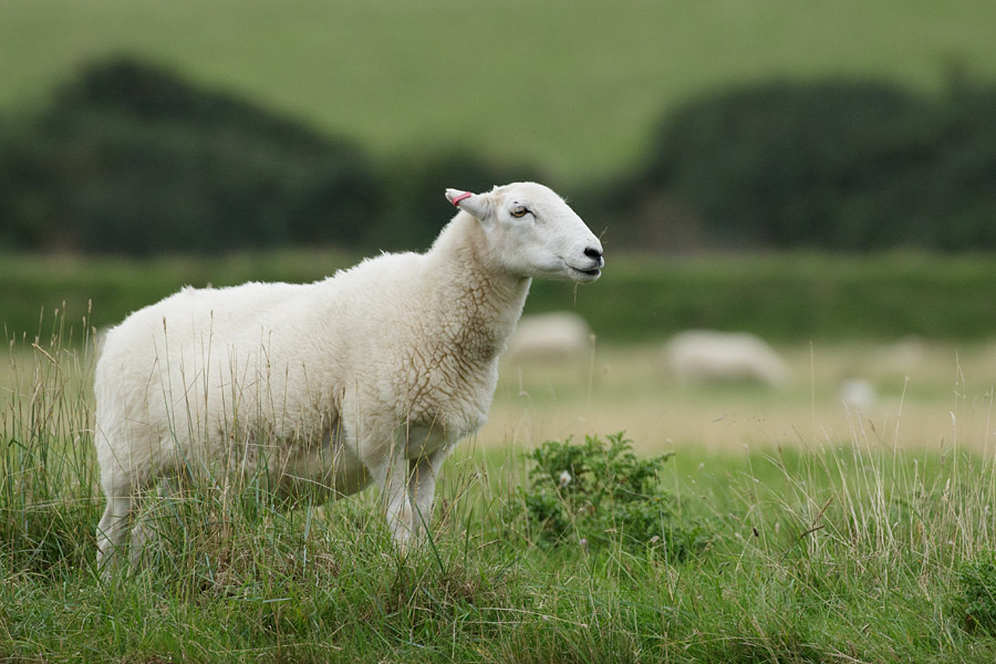 Sheep at Seven Sisters, East Sussex