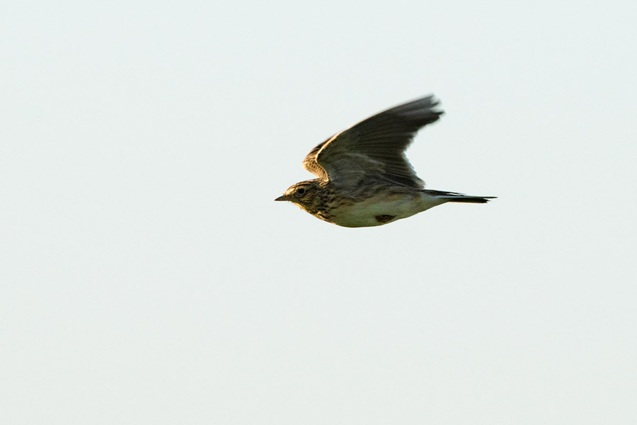 Skylark at Sheepcote Valley