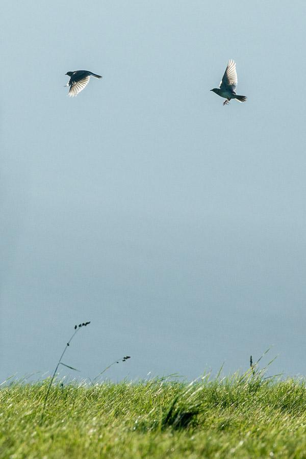 Skylarks larking at Sheepcote Valley
