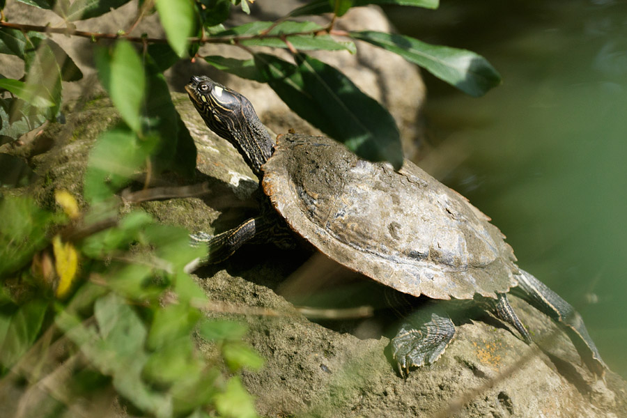 Terrapin basking at Falmer Pond
