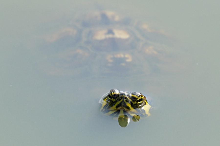 Terrapin in Falmer Pond