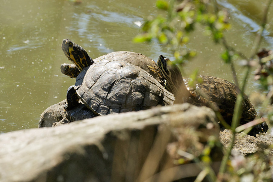 Three terrapins at Falmer Pond, East Sussex