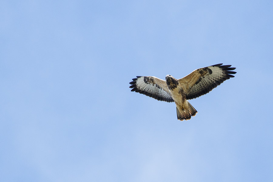 Buzzard over Watts House, University of Brighton