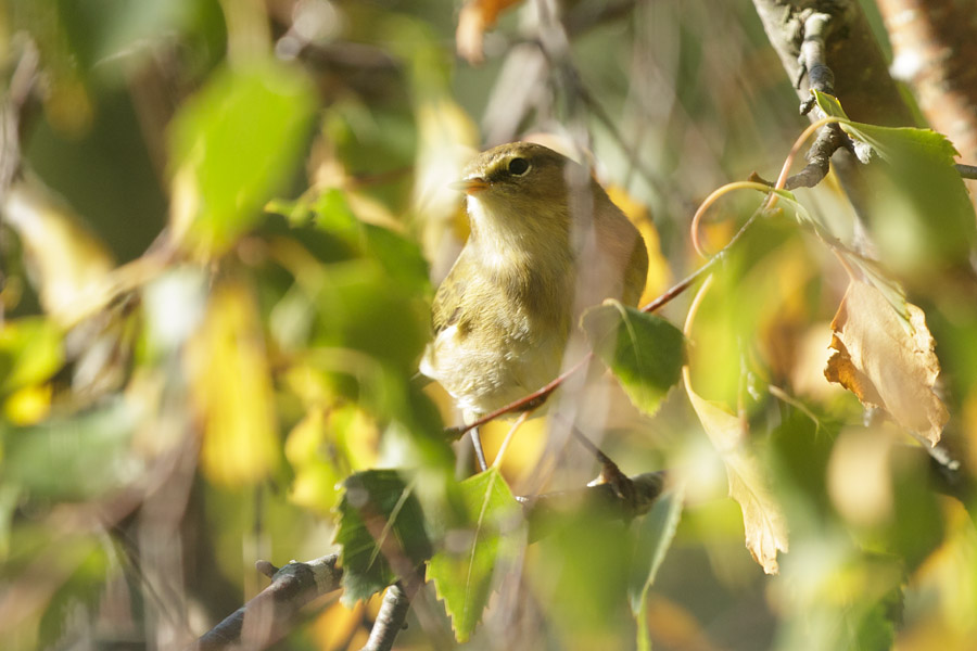 Chiffchaff on Watts Bank, University of Brighton