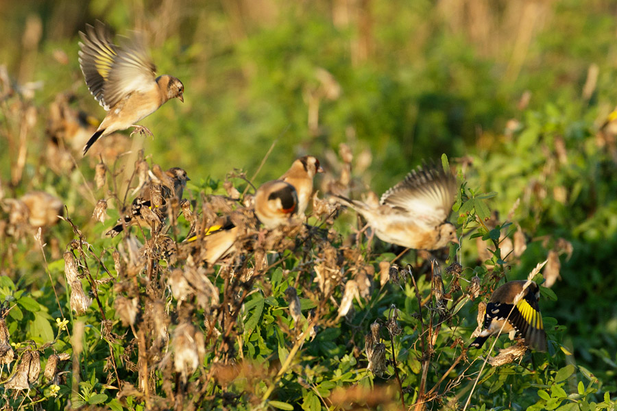 Goldfinches feeding flock at Sheepcote Valley, Brighton