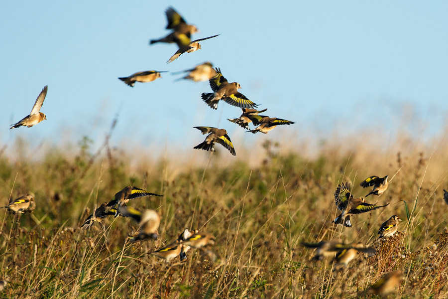 Goldfinch flock at Sheepcote Valley, Brighton