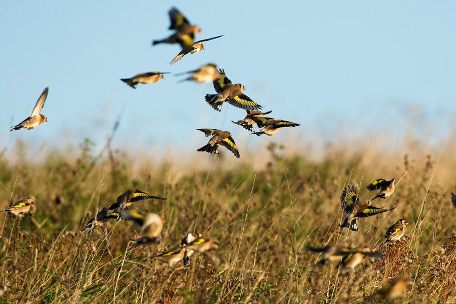 Goldfinch flock at Sheepcote Valley, Brighton