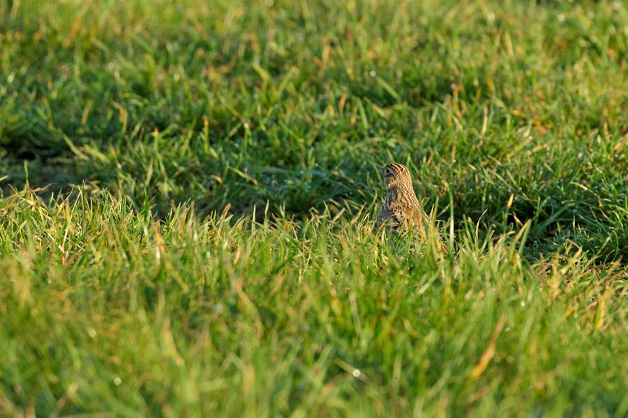 Skylark resting in grass at Sheepcote Valley