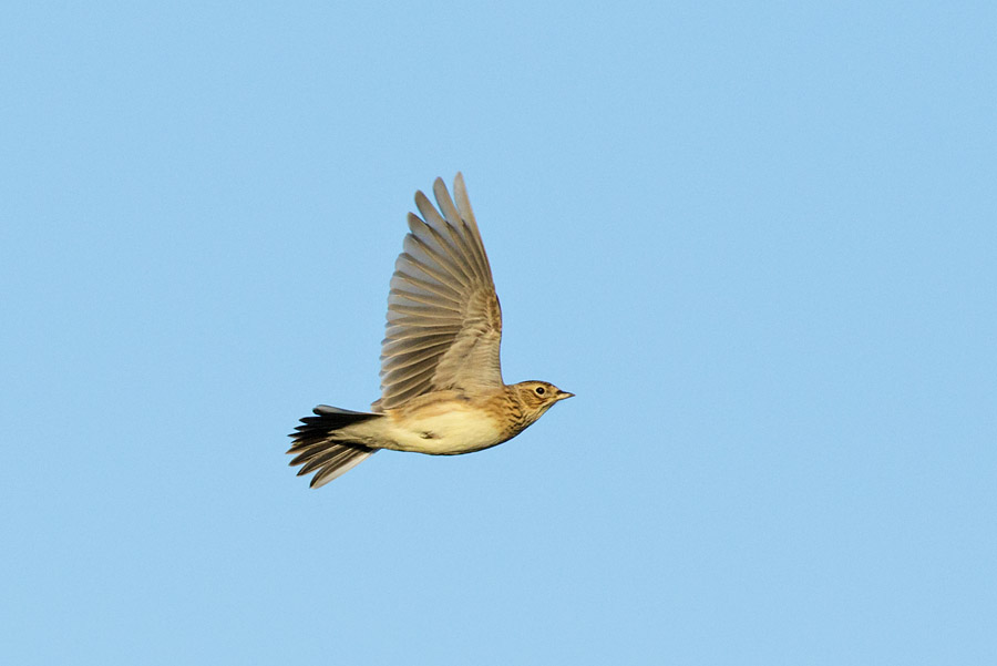Skylark is flight with wings raised