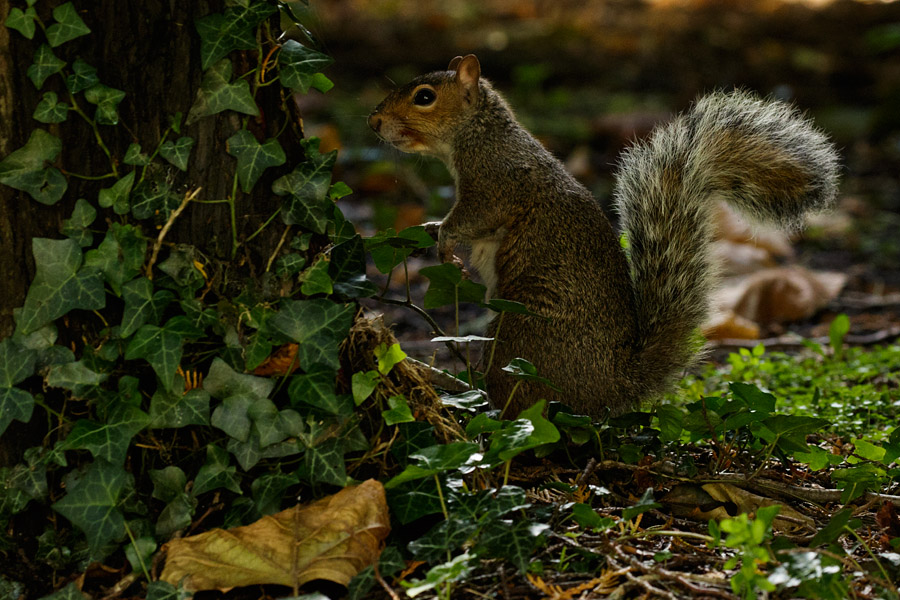 squirrel under cover