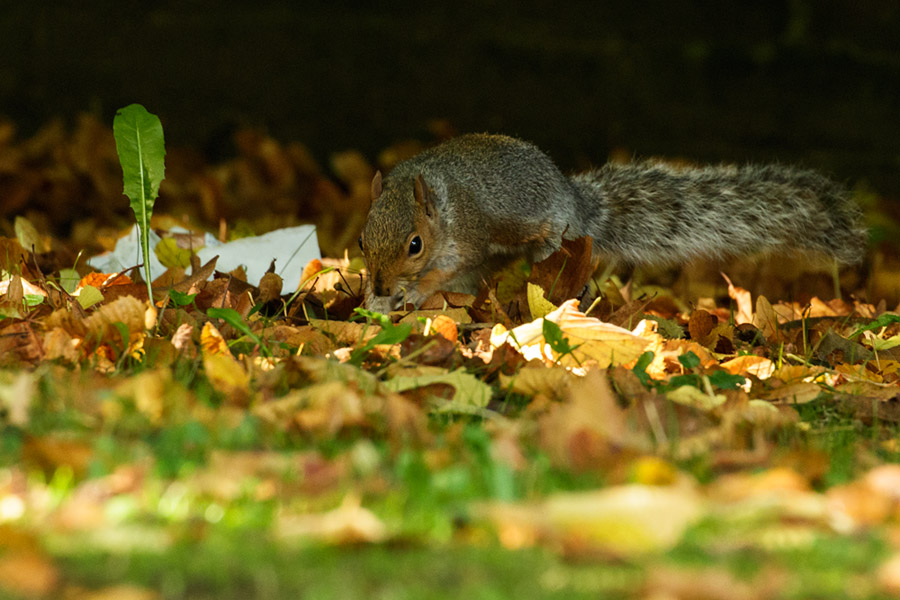Squirrel at squirrelling for seeds at the Manor House, University of Brighton