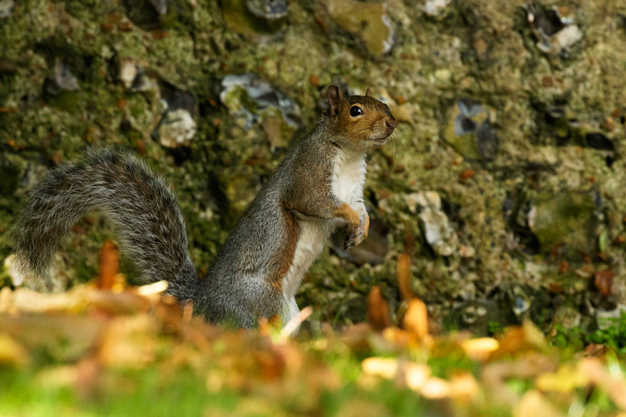 Squirrel posing by a stone wall