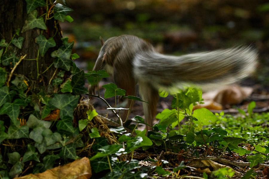squirrel turning tail