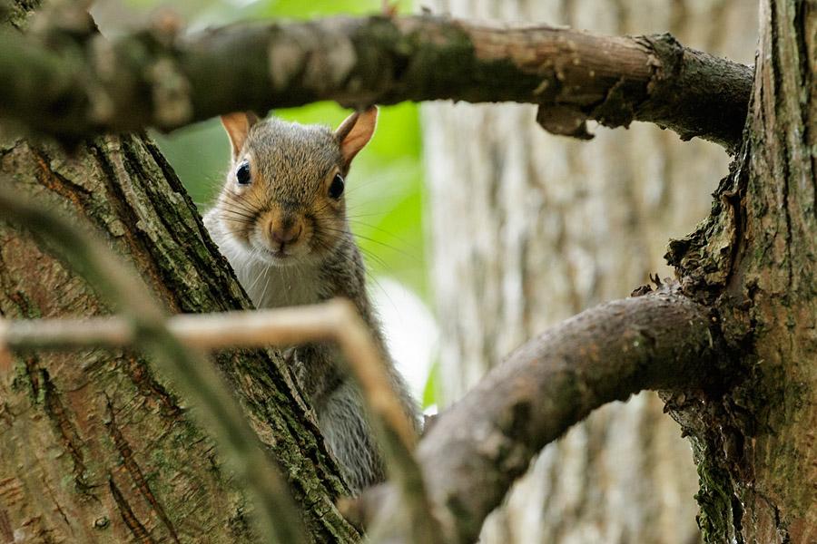 Grey squirrel peeking through the branches