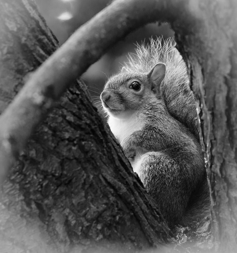 Black and white portrait of a grey squirrel