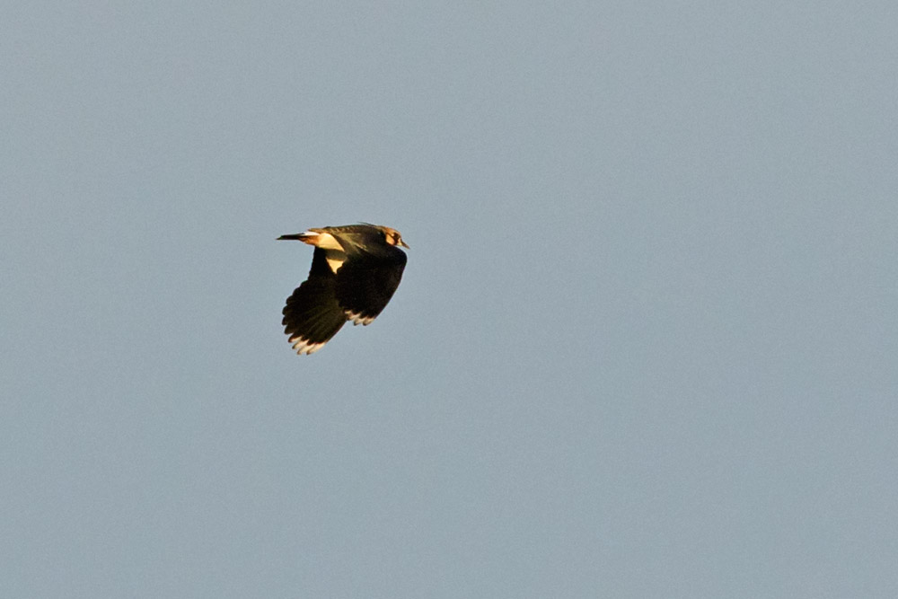 Lapwing flying over Sheepcote Valley, Brighton