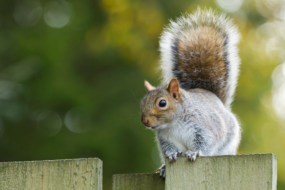Grey squirrel on the fence at University of Brighton