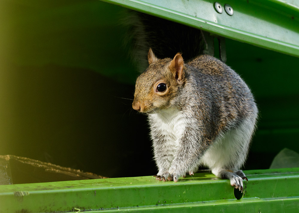 Grey squirrel sitting on recycling dumper bin at University of Brighton, Moulsecoomb