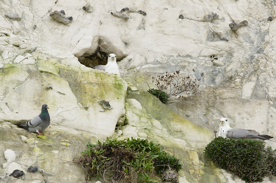 Two fulmars and a pigeon on the cliffs at Rottingdean