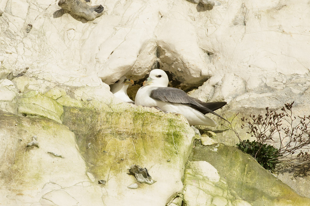 Fulmars in nesting site at Rottingdean, East Sussex