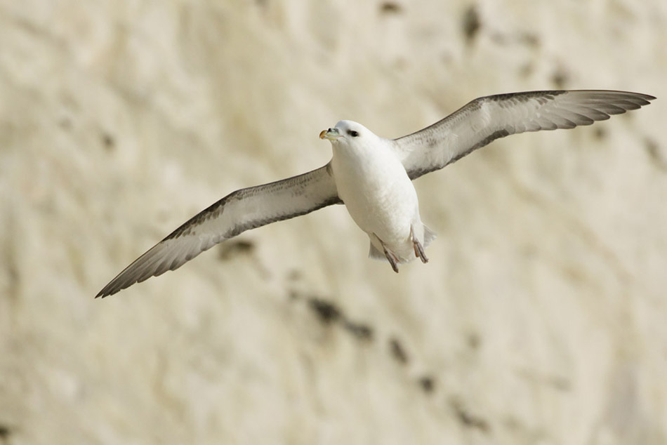 Fulmar flying along the cliffs at Rottingdean