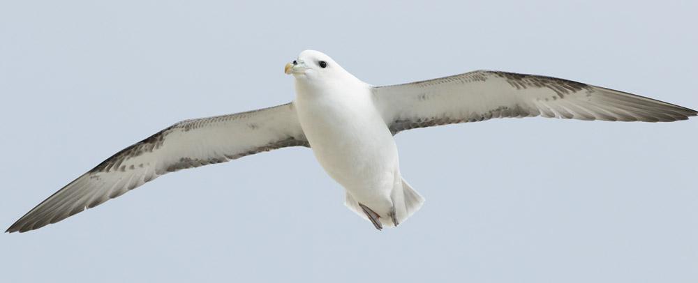 Fulmar (click to enlarge)