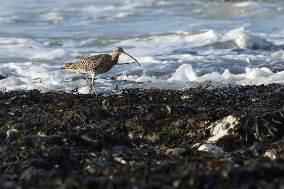 Curlew at Rottingdean Beach, East Sussex