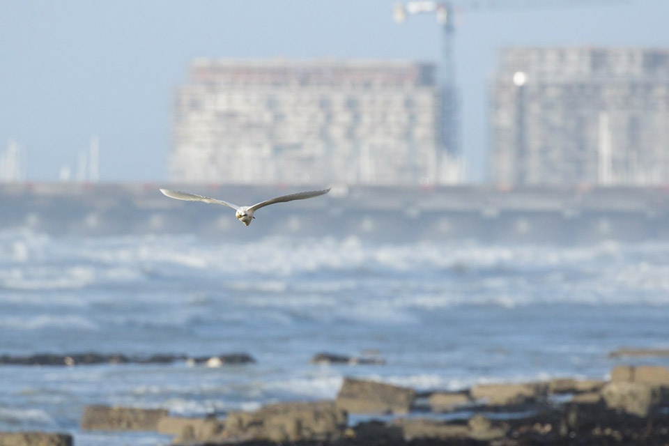 Little egret with Brighton in the background