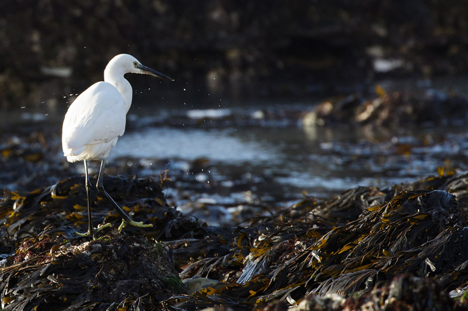 Little egret at Rottingdean