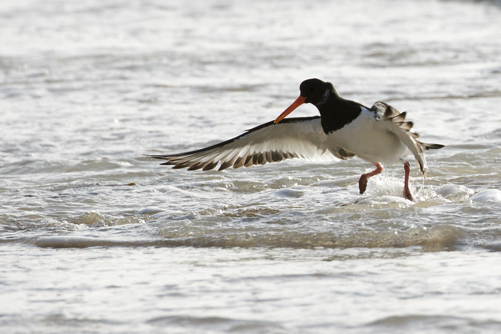 Oystercatcher at Rottingdean, East Sussex
