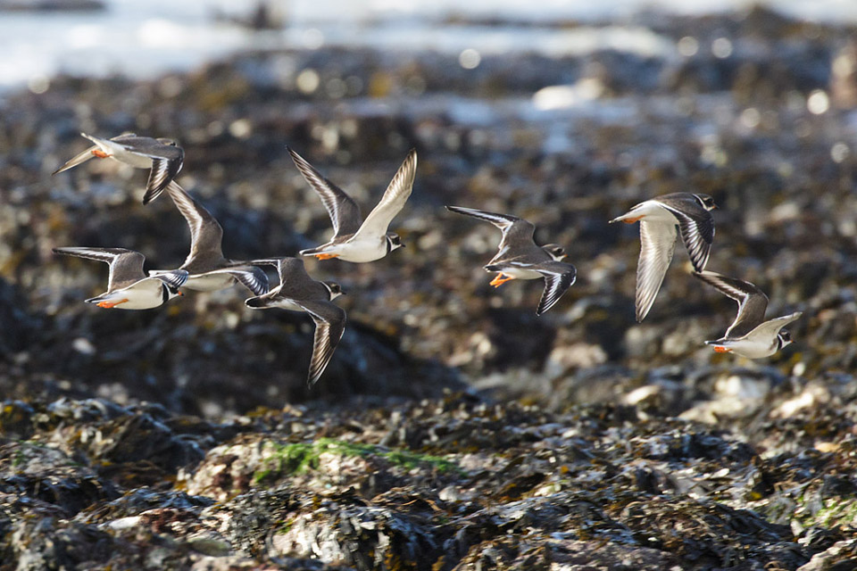 Ringed plovers at Rottingdean
