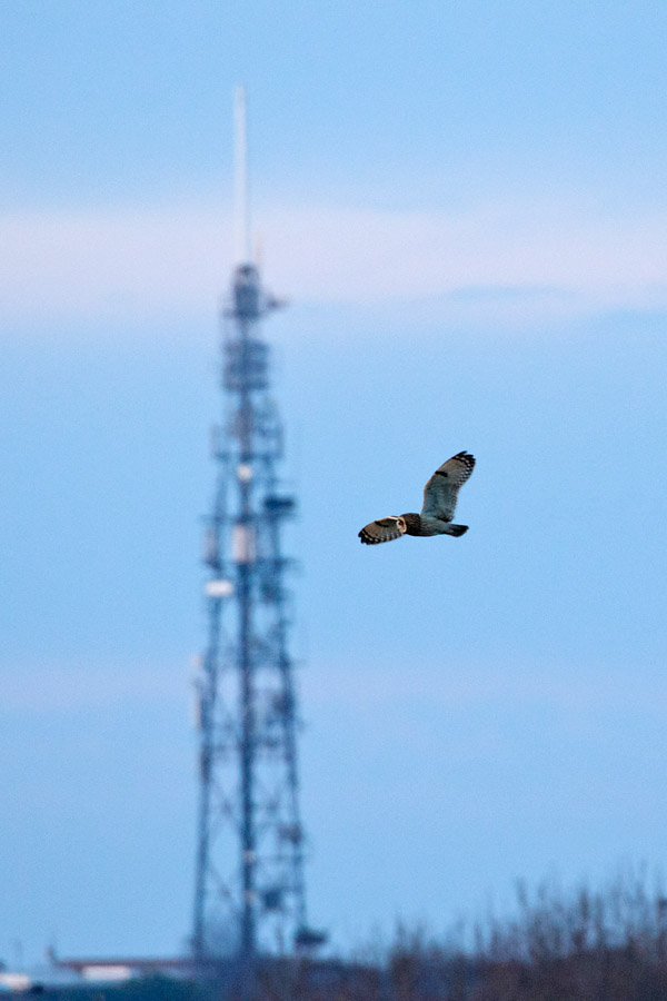 Short eared owl with the Whitehawk television mast in the background