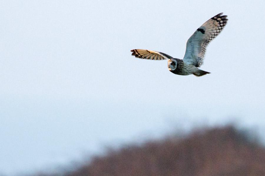 Short eared owl at Sheepcote Valley, Brighton