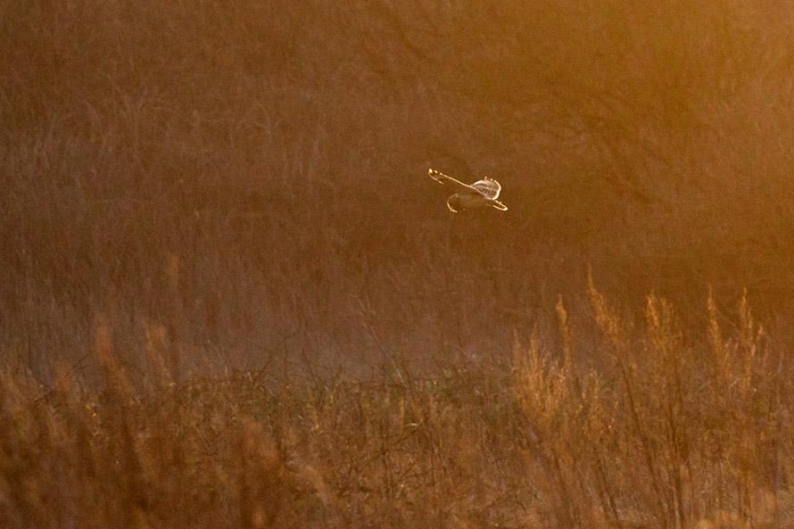 Short eared owl bathed in golden light just after sunrise.